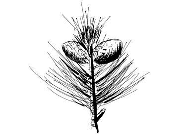 Joka-Natur-Iconzeichnung-Zirbe
